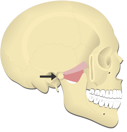 Mandible protraction (2)