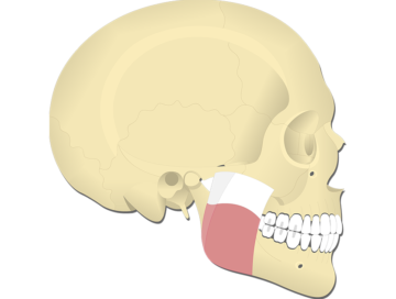 Masseter Muscle - Featured