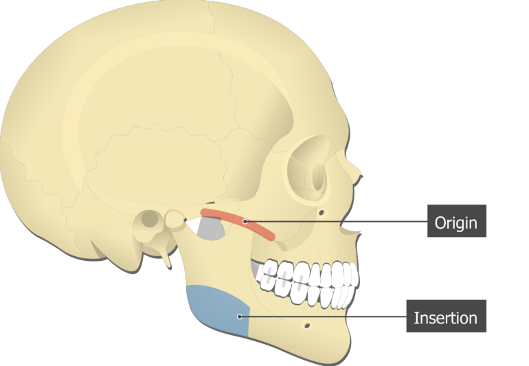 Masseter Muscle - Origin and Insertion