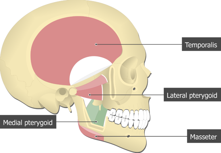 medial pterygoid muscle attachments actions innervation