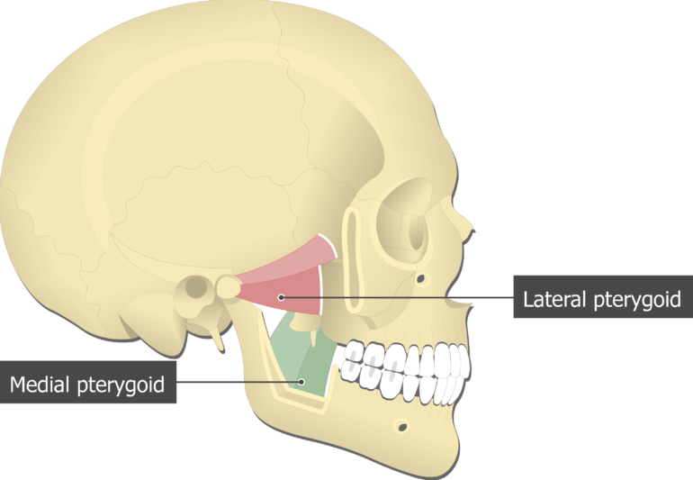 Medial Pterygoid Muscle attached to the skull with other mastication muscles