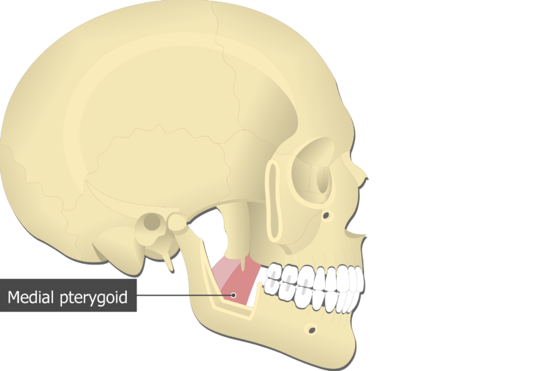 Medial Pterygoid Muscle attached to the skull alone