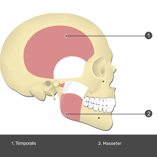 Medial Pterygoid Muscle - Test yourself 1