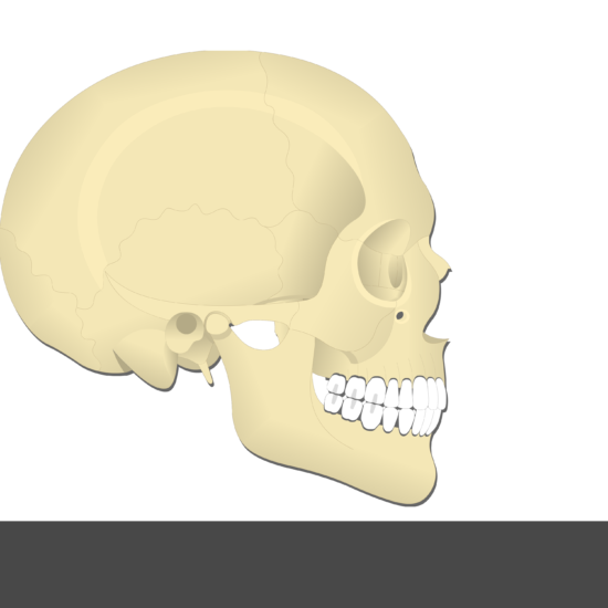 Medial Pterygoid Muscle - Test yourself 10