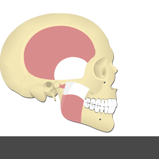 Medial Pterygoid Muscle - Test yourself