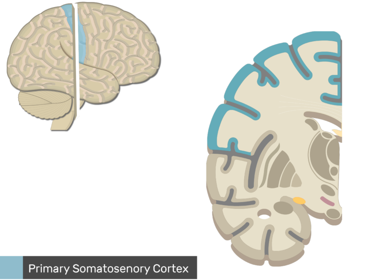 An image showing Lateral view of the right hemisphere and Coronal view of the right hemisphere, the Primary Somatosenory Cortex is highlighted