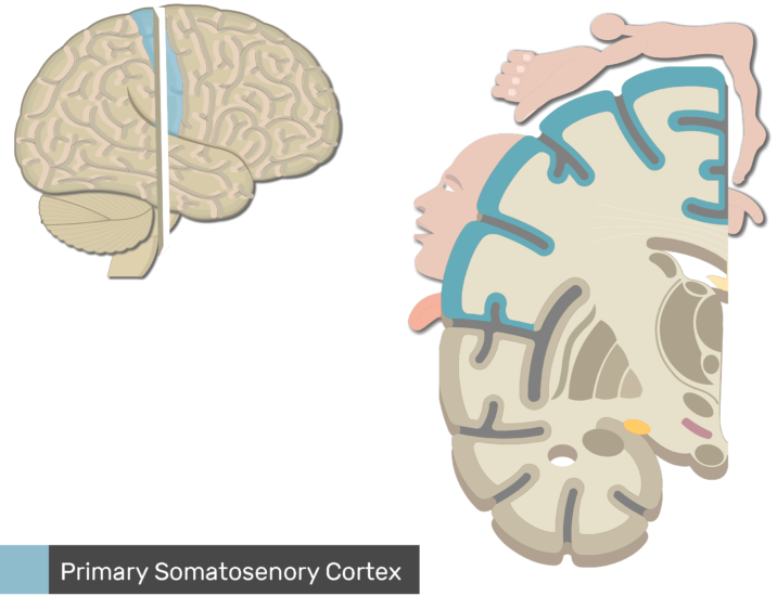 An image showing the genitals, feet, legs, hips, trunk, head and arm sensation regions, Lateral view of the right hemisphere and Coronal view of the right hemisphere, the Primary Somatosenory Cortex is highlighted