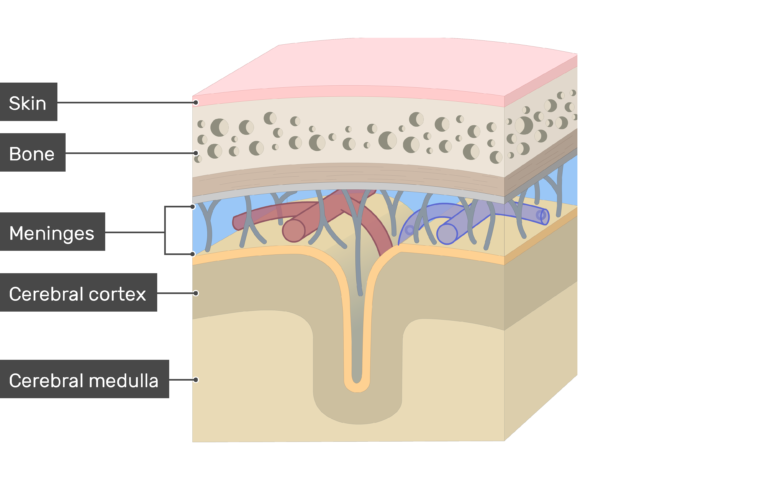 Cross-section of the meninges showing Skin, Bone, Cerebral cortex, Cerebral medulla layers