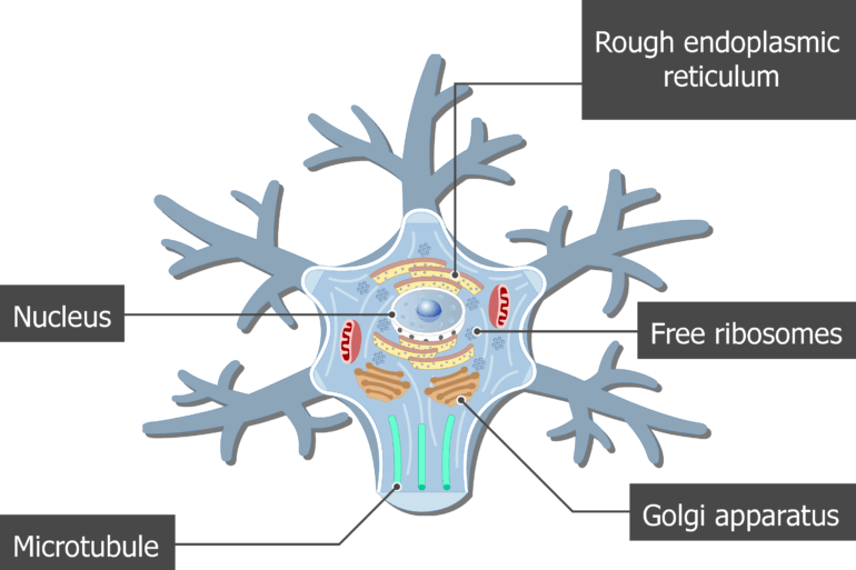 An image showing the neuron cell body and it's structures (Microtubule, Golgi apparatus, Rough endoplasmic reticulum, Free ribosomes and Nucleus) are labeled