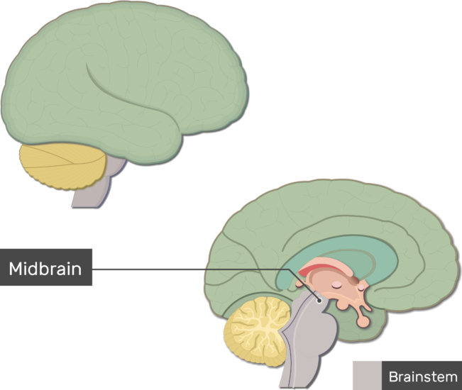 An image showing the Midbrain labeled, lateral and sagittal view of the brain