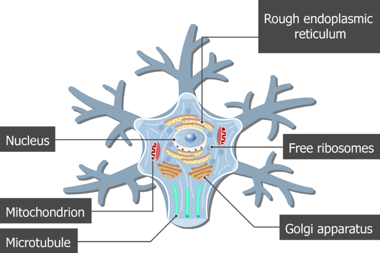 An image showing the neuron cell body and it's structures (Mitochondrion, Microtubule, Golgi apparatus, Rough endoplasmic reticulum, Free ribosomes and Nucleus) are labeled