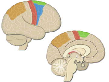 An image showing the Posterior parietal cortex, Supplementary motor area, Primary motor cortex, Premotor cortex, lateral view of the right hemisphere and medial view of the left hemisphere