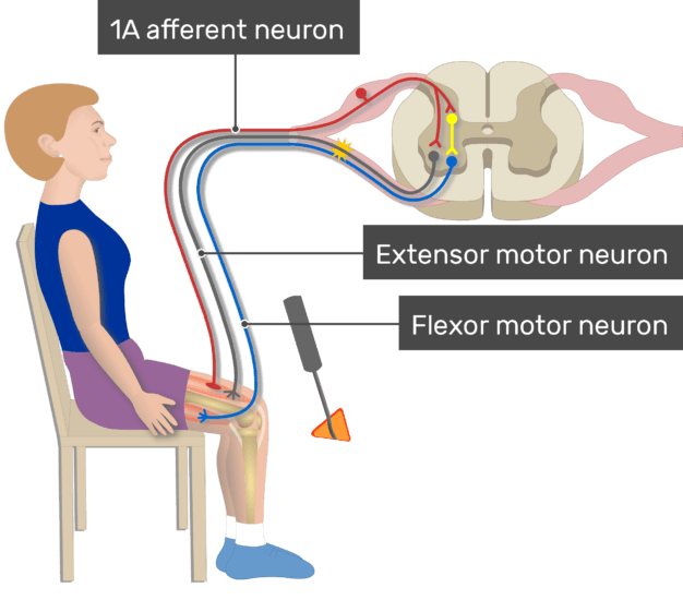 An image showing the action potential moving through alpha motor neuron, Myotatic Reflex, the image contains (1A afferent neuron, Flexor motor neuron, Extensor motor neuron)