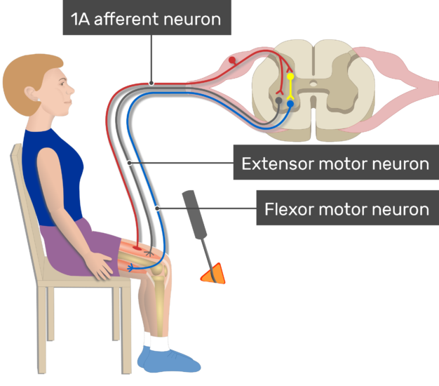An image showing Myotatic Reflex of the muscle, the image contains (1A afferent neuron, Flexor motor neuron, Extensor motor neuron)