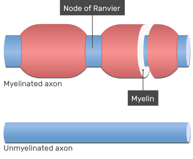 An image showing the Nodes of Ranvier in myelinated axons, the node and Myelin are labeled