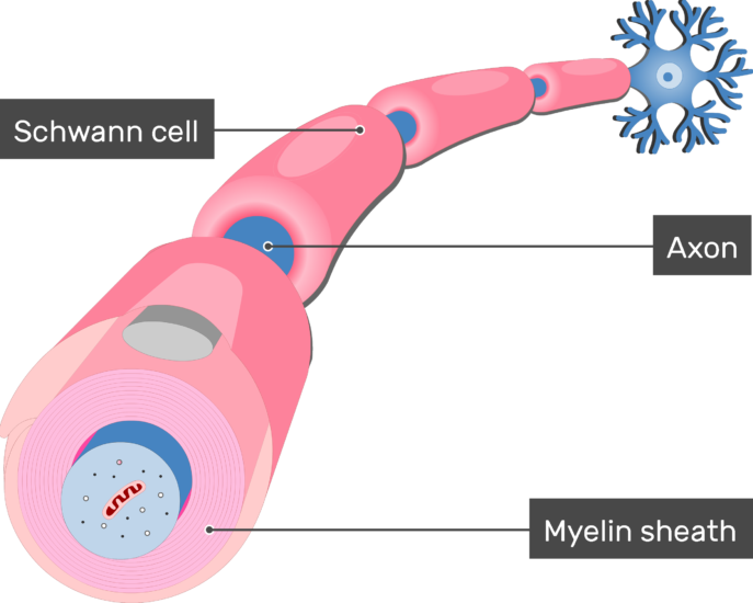 An image showing Myelin sheath of schwann cell in addition to an axon of a neuron Myelinated by Schwann Cells, the Myelin sheath , axon and schwann cells are labeled
