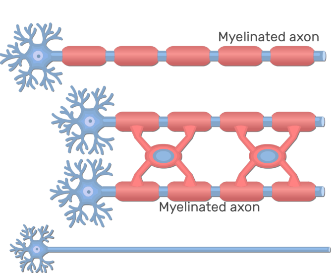 An image showing 3 types of axons, Myelinated by Schwann cells, by oligodendrocytes cells and unmyelinated axons, Myelinated axon is labeled