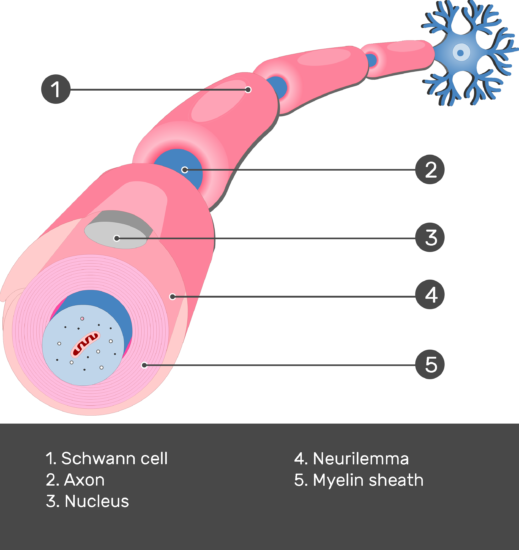 An image showing Myelination of axon by the schwann cell, Nucleus, Myelin sheath, and Neurilemma of shwann cell all numbered with answers below