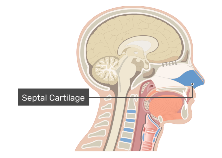 Midsagittal view of the nasal cavity labeled: Septal Cartilage