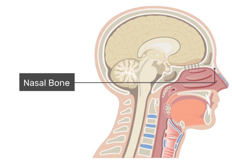 Midsagittal view of the nasal cavity labeled: Cribriform plate: Nasal bone