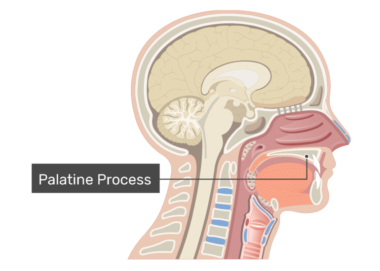 Midsagittal view of the nasal cavity labeled: Palatine Process