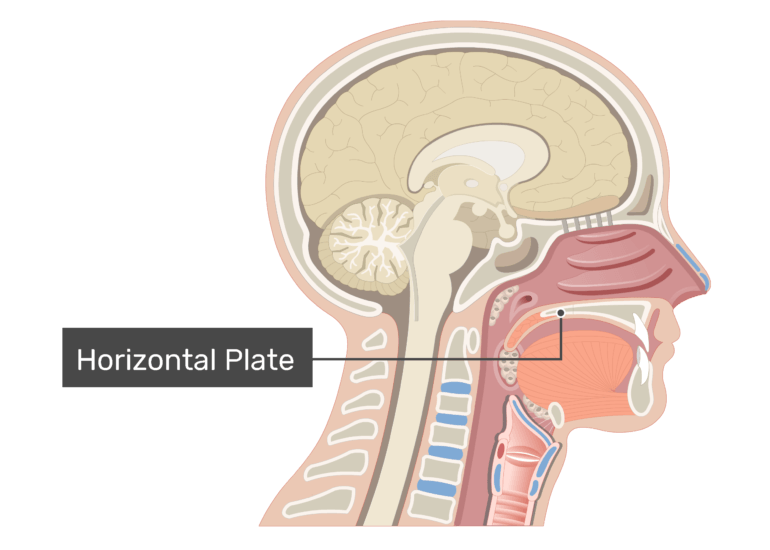 Midsagittal view of the nasal cavity labeled: Horizontal Plate