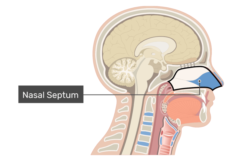 Midsagittal view of the nasal cavity labeled: Nasal septum