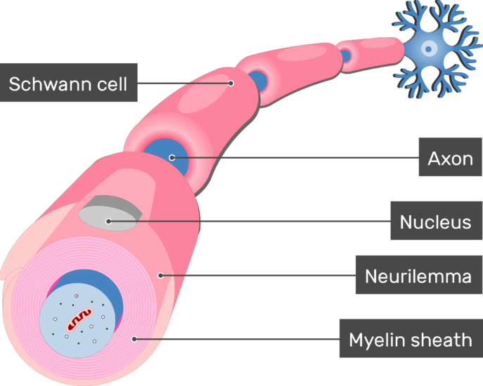 An image showing Neurilemma of the schwann cell in addition to an axon of a neuron Myelinated by Schwann Cells, the Neurilemma, Nucleus, Myelin sheath, axon and schwann cells are labeled