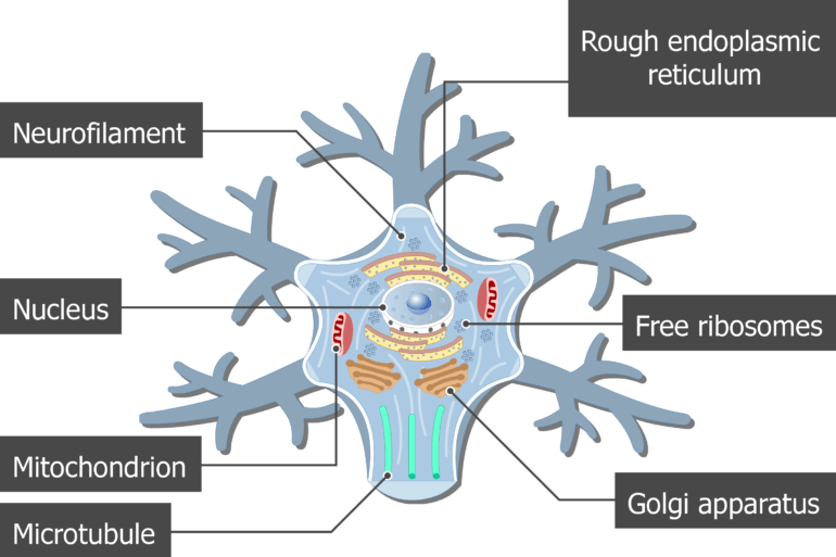An image showing the neuron cell body and it's structures (Neurofilament, Mitochondrion, Microtubule, Golgi apparatus, Rough endoplasmic reticulum, Free ribosomes and Nucleus) are labeled