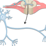 Neuron - Basic Structure and Functions