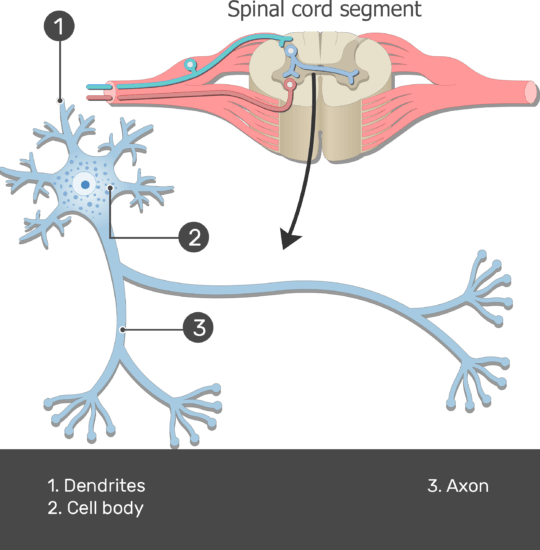 Test yourself image showing the Dendrites, Axon and Cell body of neuron with standard structures with answers below,from spinal cord segment