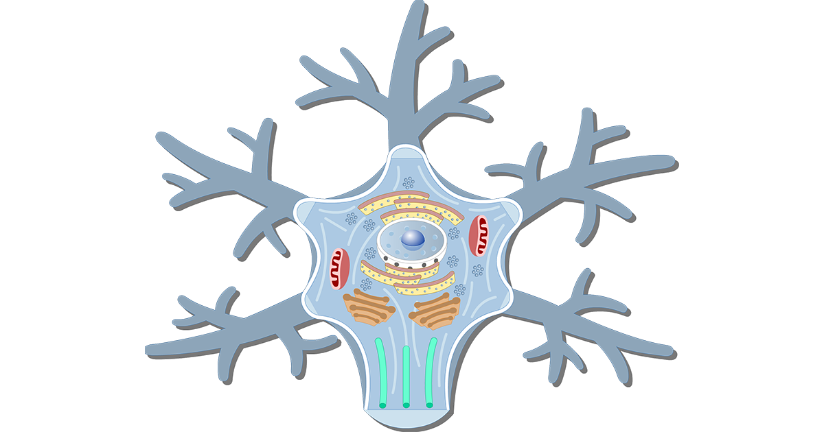 An image showing the neuron cell body and it's structures