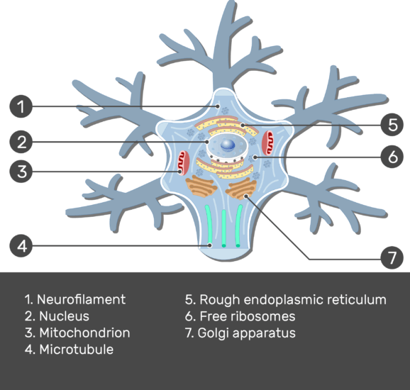 Test yourself image showing the neuron cell body and it's structures (Neurofilament, Mitochondrion, Microtubule, Golgi apparatus, Rough endoplasmic reticulum, Free ribosomes and Nucleus) all numbered with answers below