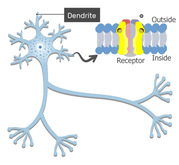 An image showing the binding process of the neurotransmitter molecules to the dendritic receptors