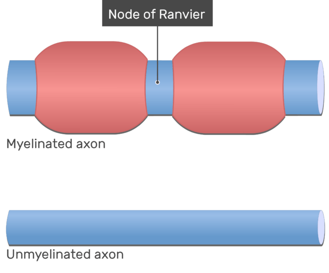 An image showing the Nodes of Ranvier (labeled) in myelinated axons