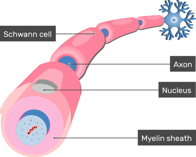 An image showing Nucleus of the schwann cell in addition to an axon of a neuron Myelinated by Schwann Cells, the Nucleus, Myelin sheath, axon and schwann cells are labeled