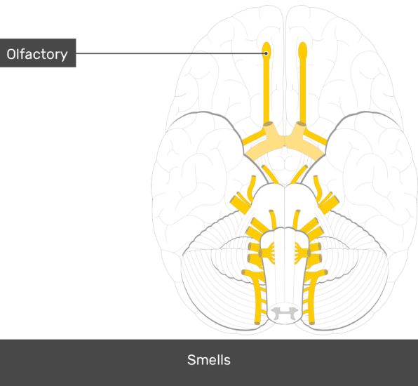 An inferior view of the brain showing the cranial nerves (Olfactory nerve is labeled)