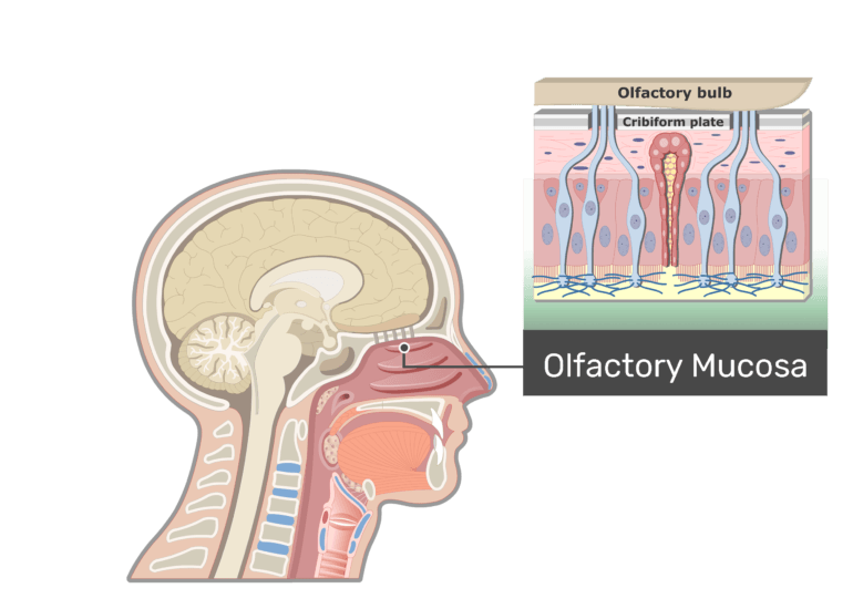 Olfactory Mucosa highlighted and labeled in midsagittal view