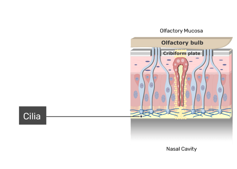 A zoom-in view of the olfactory mucosa demonstrating the cilia