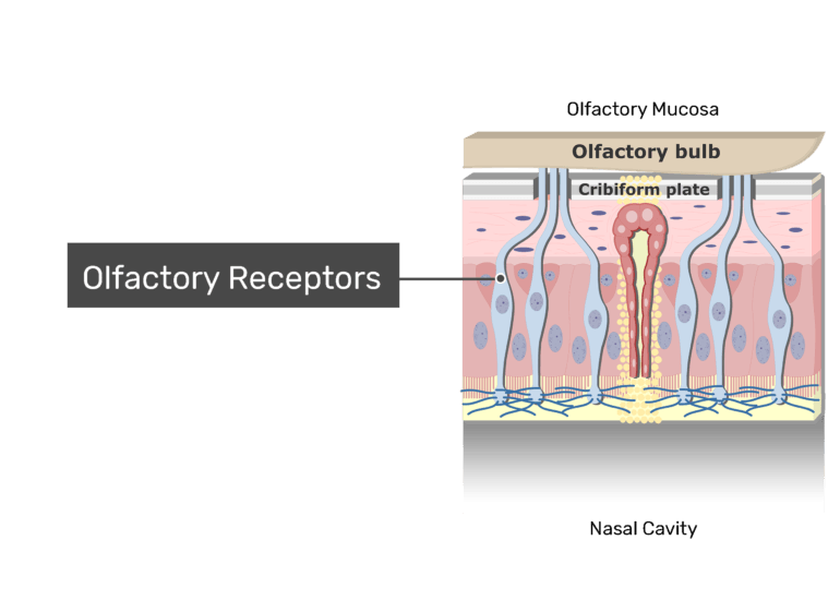 A zoom-in view of the olfactory mucosa demonstrating the olfactory receptors