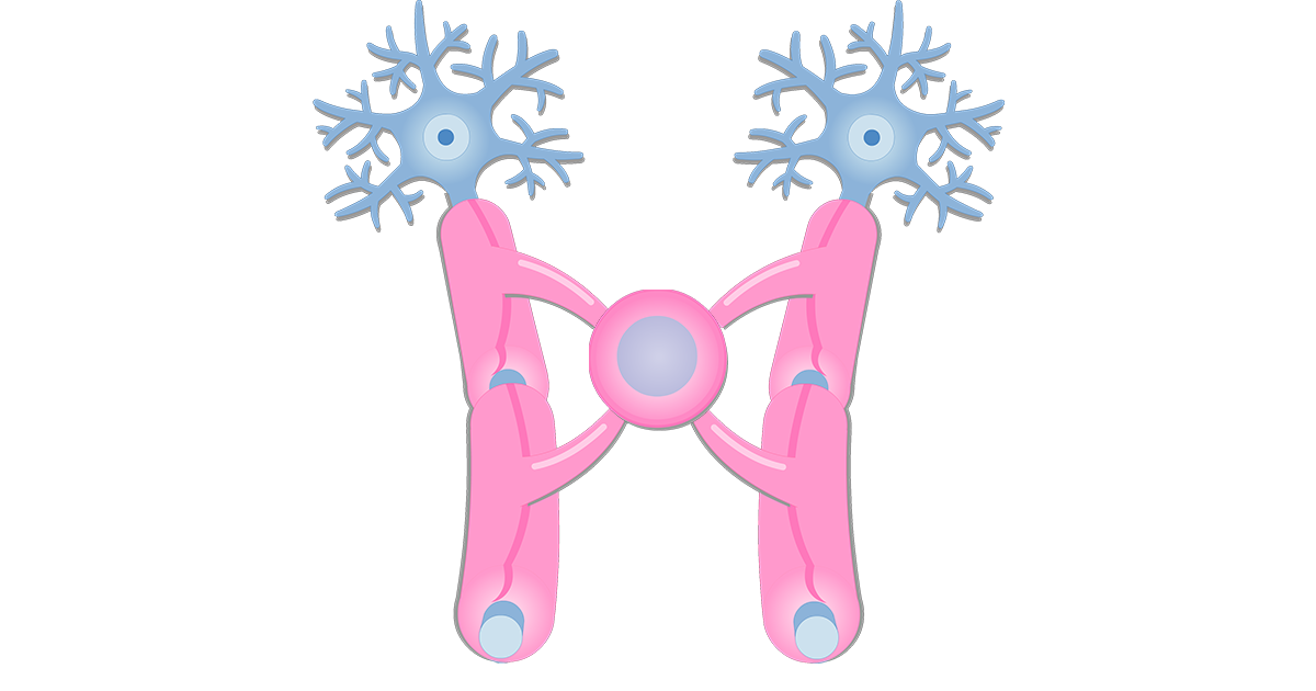 An image showing the Oligodendrocytes giving branches to neurons axons through its Cytoplasmic processes