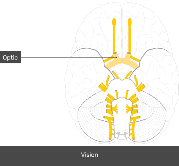 Cranial Nerves Anatomy And Functions