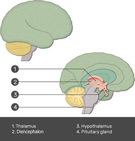 An image showing the Pituitary gland, Hypothalamus, Thalamus and Diencephalon numbered with answers below, lateral and sagittal view of the brain