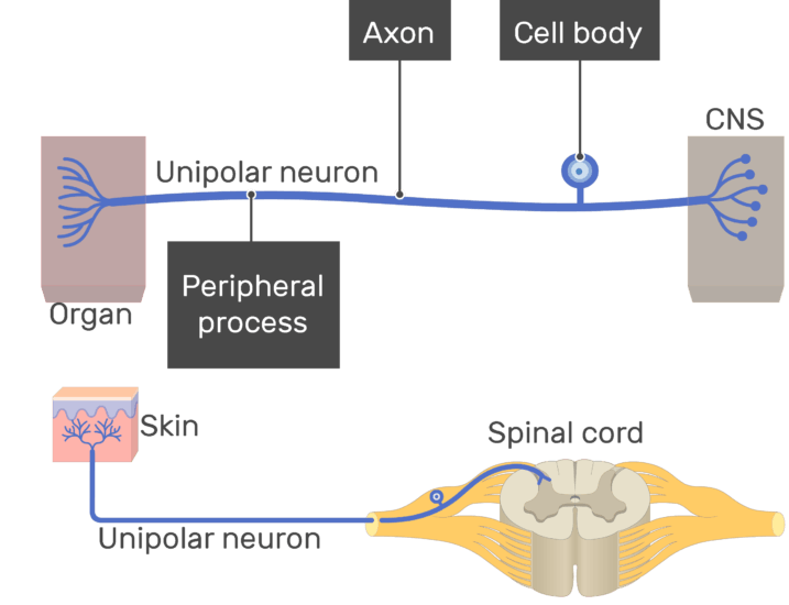 An image showing the Peripheral process, cell body and axon all labeled , unipolar neuron connecting between the organ and the CNS