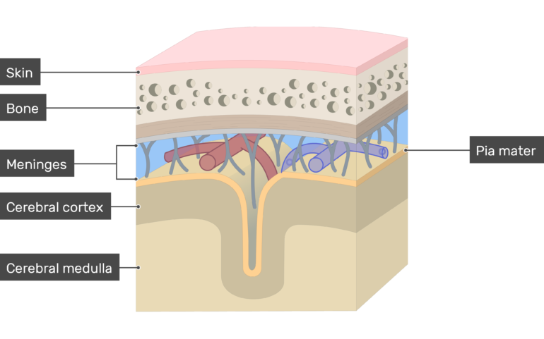 Cross-section of the meninges showing the Pia mater in addition to Skin, Bone, Cerebral cortex, Cerebral medulla layers