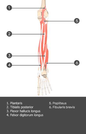 Plantaris Muscle - Test yourself 10