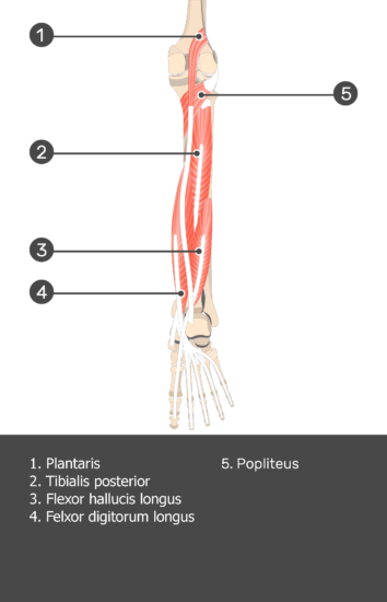 Plantaris Muscle - Test yourself 11