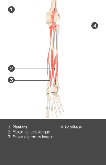 Plantaris Muscle - Test yourself 12