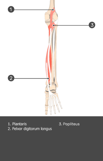 Plantaris Muscle - Test yourself 13