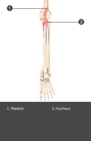 Plantaris Muscle - Test yourself 14